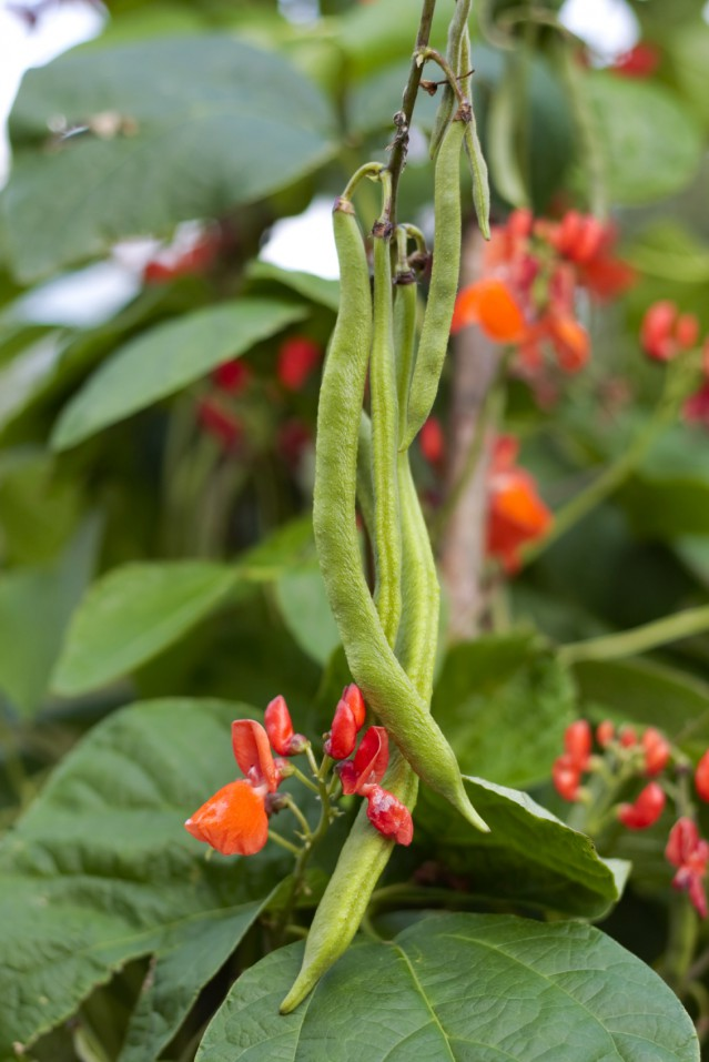 Runner beans on vine growing in garden